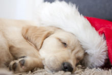 Cute Golden retriever puppy 6 weeks old